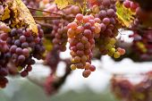 Bunches Of Red Grapes, Rosada, From Vineyard. Grape Harvest. Vineyards At Sunset In Autumn Harvest.  poster