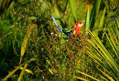 The Eastern Rosella Is A Brightly Coloured, Broad-tailed Parakeet Native To South-eastern Australia. poster
