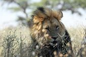The Huge Lion Male Panthera Leo With Black Mane Have A Rest On Dry Sand Of Kalahari Desert. Dry Tree poster