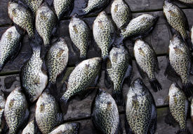 picture of crappie  - crappies pan - JPG