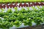 image of hydroponics  - Horizontal photo of various kinds of lettuce growing in hydroponic greenhouse - JPG