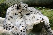 stock photo of snow-leopard  - snow leopard lying on a stone in the natural - JPG