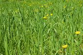 stock photo of yellow flower  - green grass blades on the sun light with few dandelions - JPG