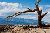 stock photo of straddling  - A tree straddles a sand dune in Death Valley National Park - JPG