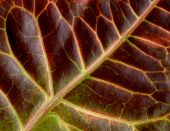 stock photo of crotons  - Plant croton back side of the leaf close up - JPG