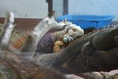 pic of cade  - Iguana creeping in its glass cade in the zoo - JPG