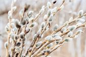 stock photo of willow  - Image of spring pussy willow branches outdoor - JPG