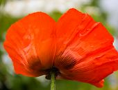 Delicate orange poppy.