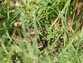 foto of venom  - Small venomous snake female Adder or Viper concealed in long grass - JPG