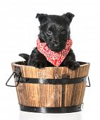 stock photo of scottie dog  - scottish terrier puppy in a wooden wash basin isolated on white background - JPG