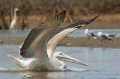 Pink-backed Pelican In The Mangroves With Wings Out