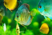 picture of diskus  - a tropical discus fish on green background - JPG