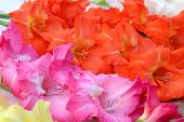 stock photo of gladiolus  - Closeup of pink orange yellow gladiolus flower with selective focus - JPG