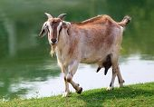 image of baby goat  - close up of Goat beside a lake outdoor - JPG