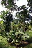 pic of royal botanic gardens  - Palm tree in the royal botanical garden Peradeniya near Kandy Sri Lanka - JPG