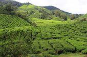 image of cameron highland  - Tea plantation in Cameron Highlands in Malaysia - JPG