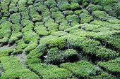 pic of cameron highland  - Tea plantation on the Cameron Highlands in Malaysia - JPG