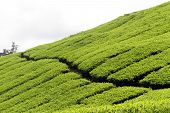 image of cameron highland  - Tea plantation on the in Cameron Highlands Malaysia - JPG