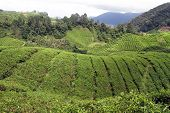 picture of cameron highland  - Tea plantation in Cameron Highlands in Malaysia - JPG