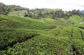 stock photo of cameron highland  - Tea plantation on the in Cameron Highlands Malaysia - JPG
