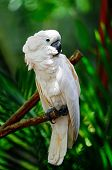 stock photo of cockatoos  - Beautiful pale pink Cockatoo Moluccan or Seram Cockatoo  - JPG
