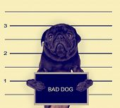 stock photo of felons  - a mugshot of a bad dog toned with a retro vintage instagram filter effect - JPG