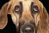 Brazilian Mastiff (fila Brasileiro), Close-up