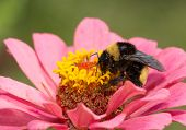stock photo of bumble bee  - Bumble bee on a pink Zinnia - JPG