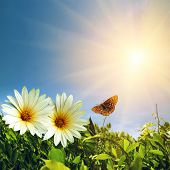 picture of blue butterfly  - Green foliage with two daisies and butterfly under sunny blue sky - JPG