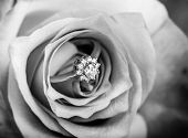 stock photo of single white rose  - gold diamond engagement ring in beautiful rose flower macro view black and white style - JPG