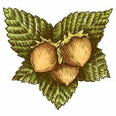 stock photo of hazelnut tree  - illustration - JPG
