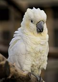 stock photo of cockatoos  - Cute white cockatoo perching on a wood - JPG
