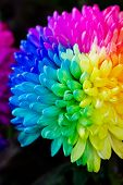 picture of transpiration  - Colorful of rainbow Chrysanthemum flower on black background - JPG