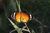 foto of monarch  - Closeup of a monarch butterfly sitting on a leaf with wings open - JPG