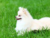 picture of pomeranian  - White Pomeranian dog sitting on the grass - JPG