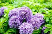 pic of monocots  - Giant Onion (Allium Giganteum) blooming in a garden on the green background ** Note: Visible grain at 100%, best at smaller sizes - JPG