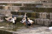 stock photo of duck pond  - Cute little ducks strolling around the pond - JPG