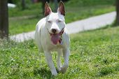 stock photo of pit-bull  - American pit bull terrier with blue eyes running - JPG