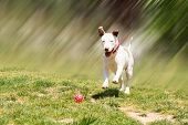 foto of pit-bull  - American pit bull terrier running to catch the ball - JPG