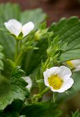 picture of strawberry plant  - Flowers of a strawberry plant - JPG