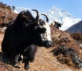 picture of yaks  - Yak on the way to Everest base camp and mount Lhotse  - JPG