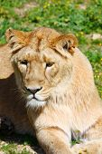 picture of leo  - Portrait of a Barbary lion  - JPG