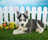 picture of husky  - Cute little Husky puppy laying in the grass with a white picket fence behind her with flowers and a butterfly around her - JPG