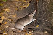 pic of animal nose  - a Nocturnal Long - JPG