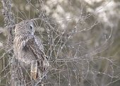 stock photo of snow owl  - A lone Great Grey Owl in winter - JPG