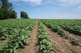 stock photo of solanum tuberosum  - Potatoes growing on a rolling hillside in Central PA on a bright sunny day - JPG