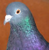 stock photo of glans  - Beautiful grey pigeon with metallic glans cool pigeon.