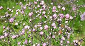 stock photo of pubescent  - Buds meadow rue  - JPG