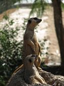 image of pack-rat  - both of the meerkats are on patrol - JPG