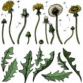 Vector Illustration Dandelions With Leaves Flower Meadow. Summer Flower Natural Season Beautiful Yel poster